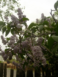 Mother's Lilac 4/28/2010