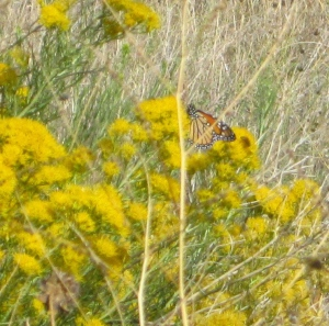 Glad to see Monarchs in our own high elevations, in the middle of their migration time!